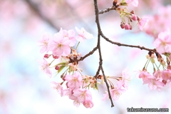 Sakura Report 2015 - Pink Kawazu-zakura at Ikegami Honmonji Temple