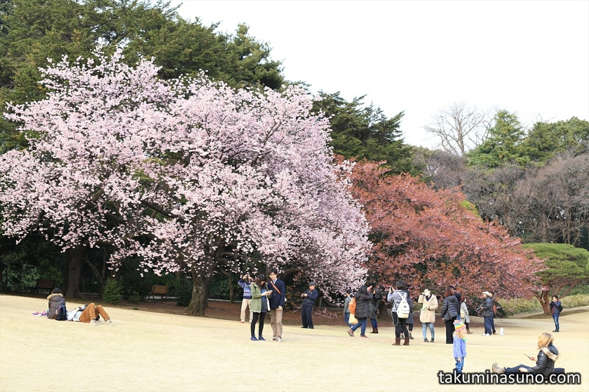 Kawazu-zakura at Japanese Garden of Shinjuku Gyoen National Garden