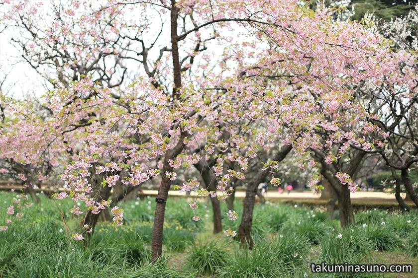 Kawazu-zakura at Shinjuku Gyoen National Garden