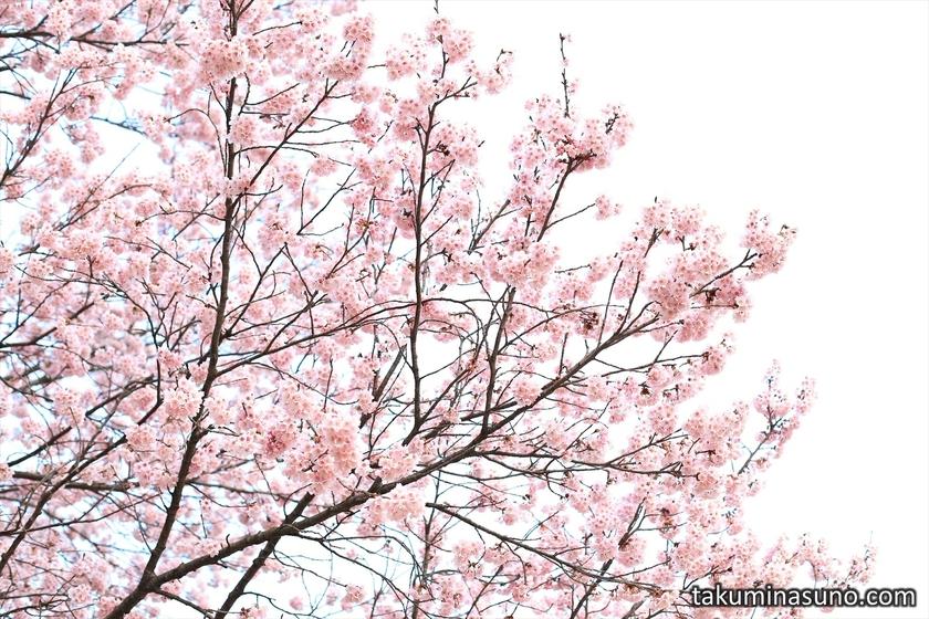 Kawazu-zakura in the Sky from Shinjuku Gyoen National Garden