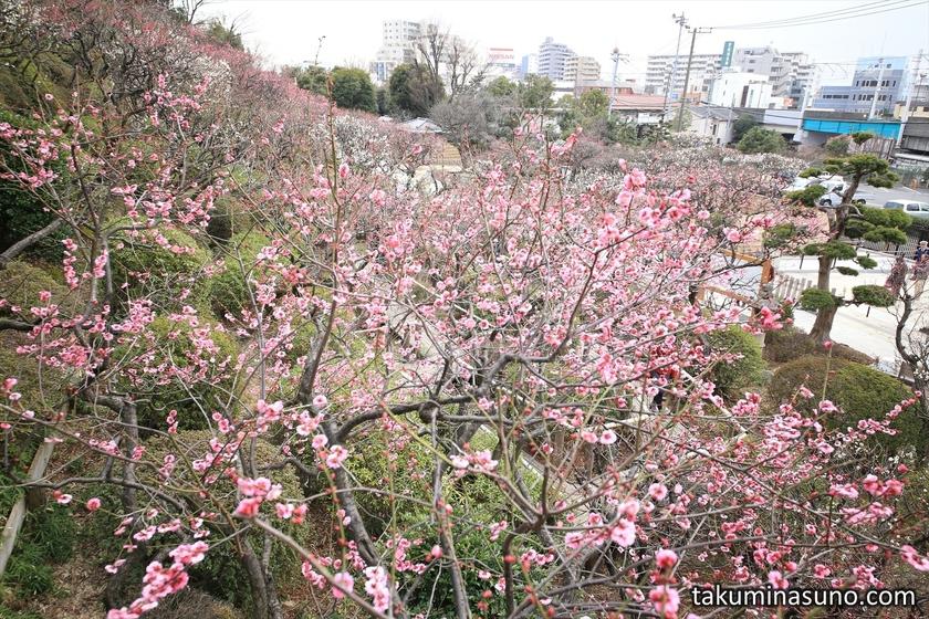 Looking Down Ikegami Baien Plum Garden