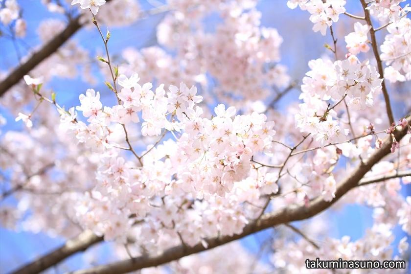 Macro Photography of Sakura at Shinjuku Central Park