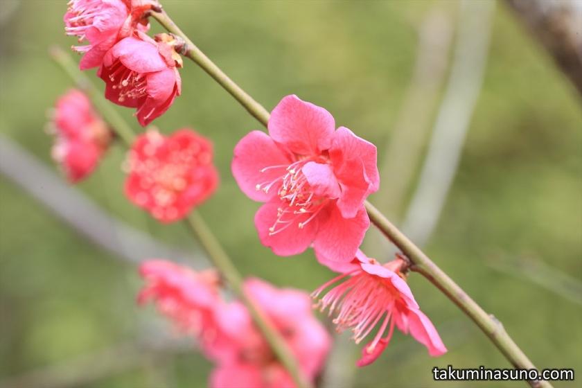 Magenta Ume Blossoms at Ikegami Baien Plum Garden