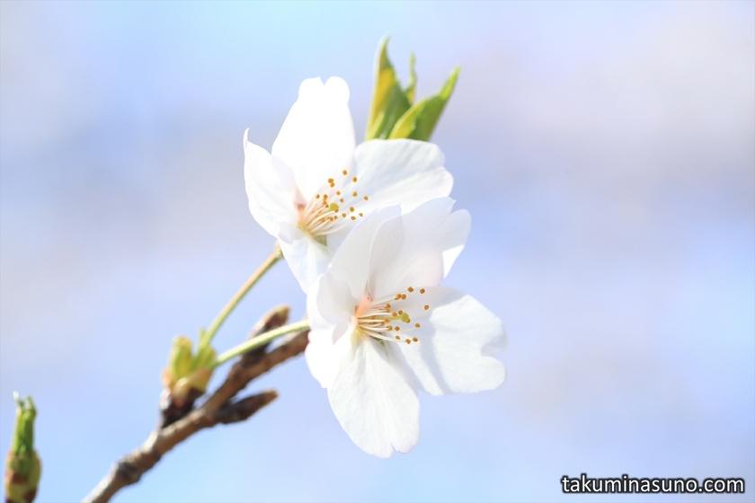 Pair of Sakura at Tamagawadai Park