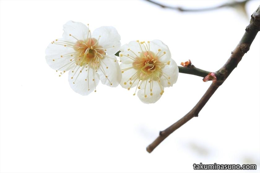 Pair of Ume Blossoms and White Sky at Shinjuku Gyoen National Garden