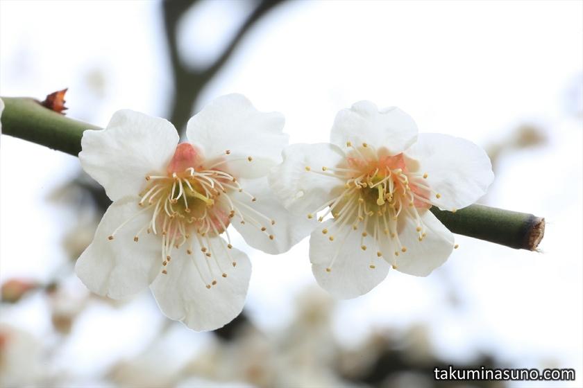 Pair of Ume Blossoms at Shinjuku Gyoen National Garden
