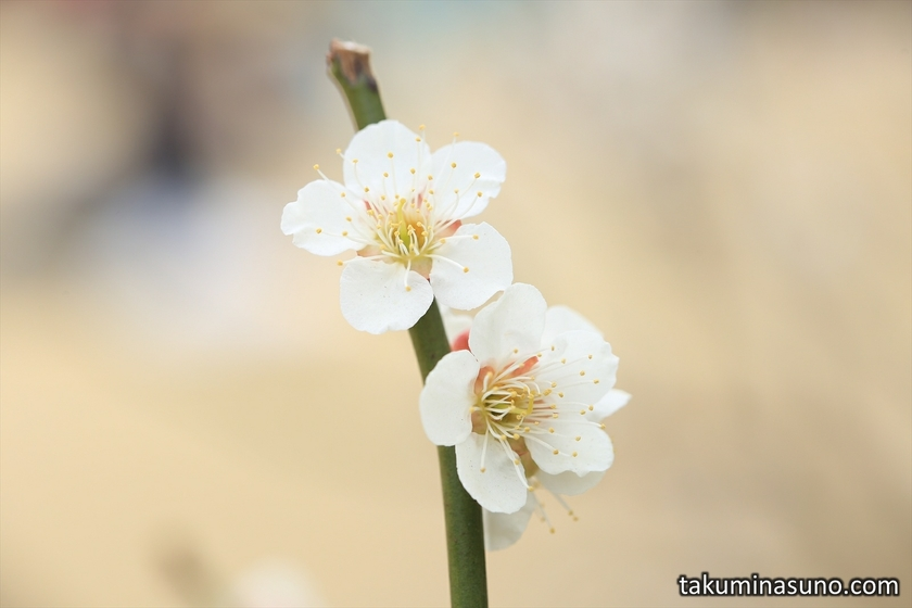 Pair of Ume Blossoms with Beige at Shinjuku Gyoen National Garden