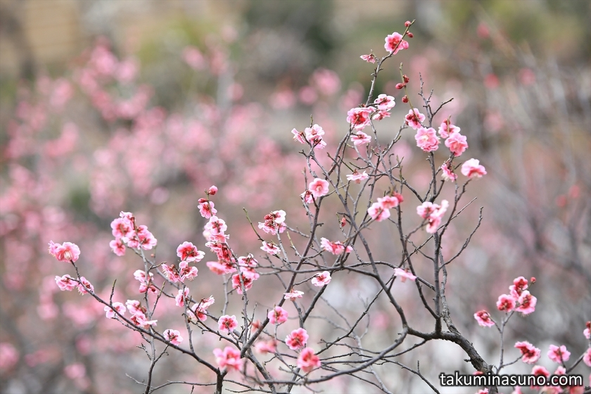 Pink and Red Ume Blossoms at Ikegami Baien Plum Garden