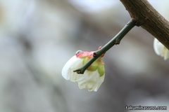 Trying to Shoot Ume Blossoms at Sojiji Temple in the Fine Morning After the Rain