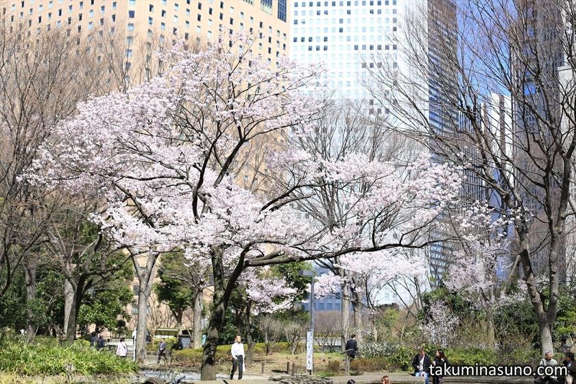 Sakura Tree at Shinjuku Central Park