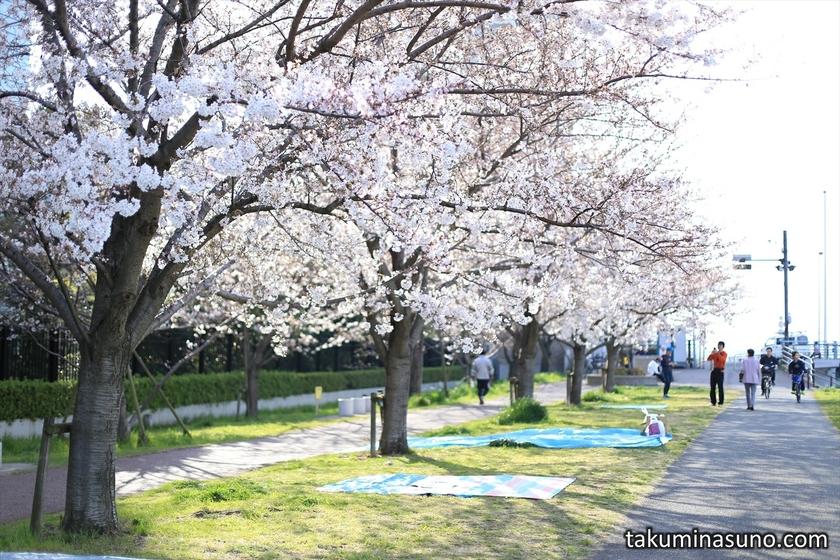 Sakura Trees near Gas Bridge