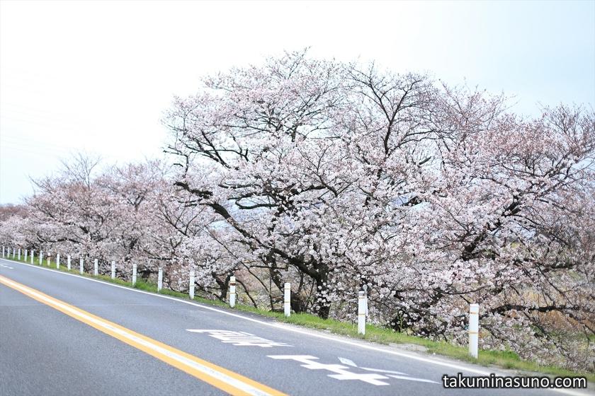 Sakura Trees near Tamagawa Station