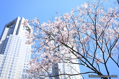 Sakura Report 2015 - Sakura Season Has Now Started in Shinjuku Central Park!
