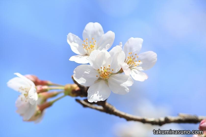 Sakura with Blue Sky at Tamagawadai Park
