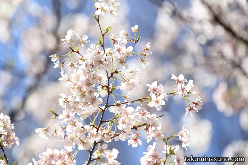 Sakura with Sizzle Feeling