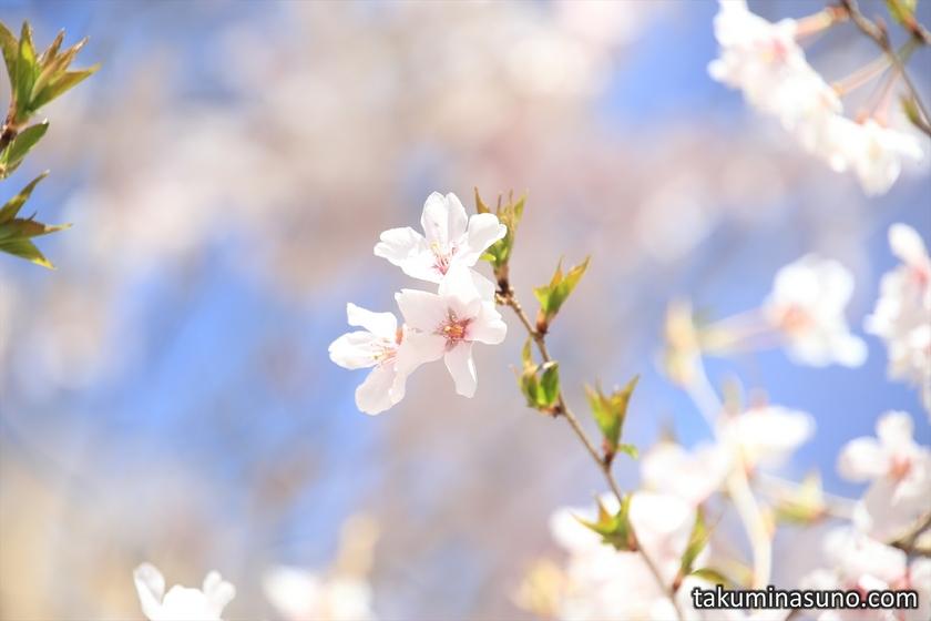 Three Sakura Blossoms