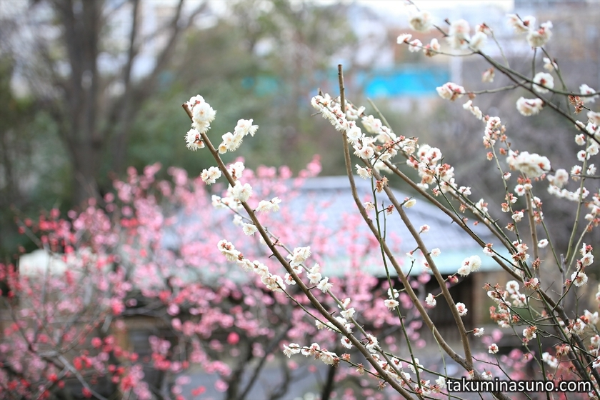 Ume Blossoms and Japanese Tea House at Ikegami Baien Plum Garden