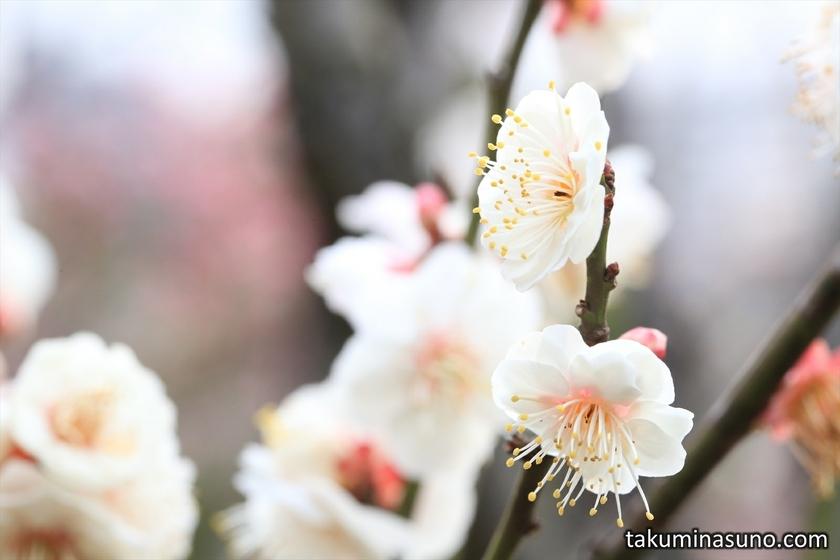 Ume Blossoms at Ikegami Baien Plum Garden
