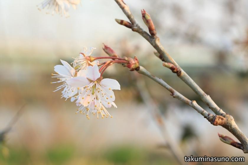 Ume Blossoms at Tama River