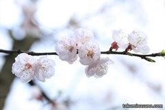 Photography Tips - How to Set Focus on Each Ume Blossom with Small F-numer