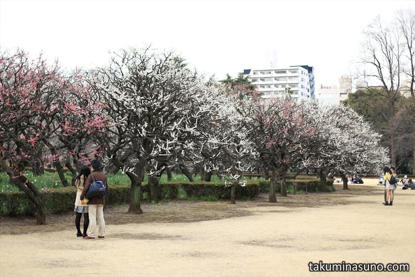 Ume Trees at Shinjuku Gyoen National Garden