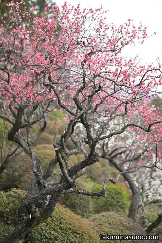 Ume Trees of Ikegami Baien Plum Garden