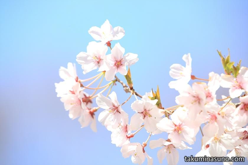 Warm Atmosphere of Sakura and Blue Sky