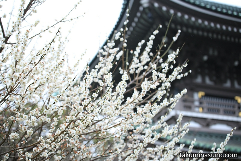 White Ume Blossoms and Temple
