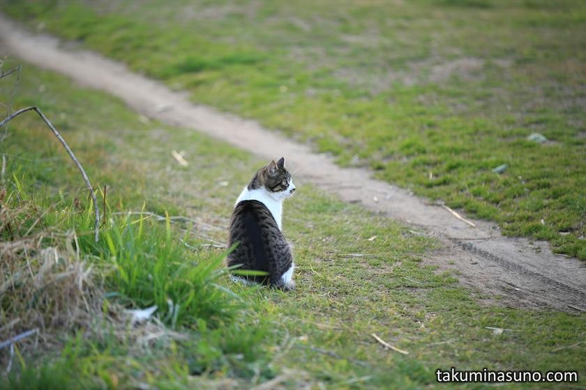Wild Cat at Tama River