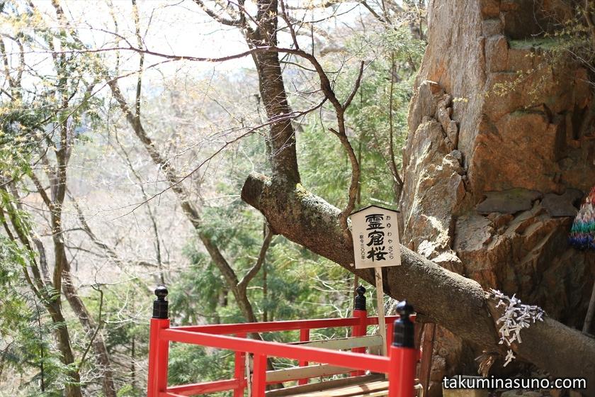 300 year-old Sakura Tree of Yamamoto Fudouson Temple at Tanagura Town