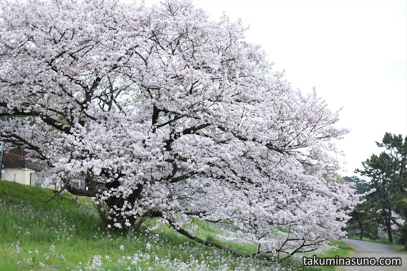 Big Sakura Tree along Tama River