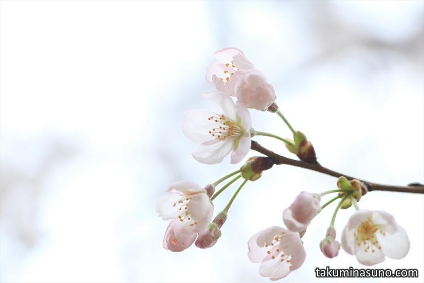Blooming Sakura Blossoms at Todoroki Fudouson Temple