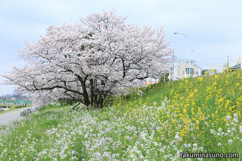 Canola Flowers, Japanese Wild Radish and Sakura Tree along Tama River