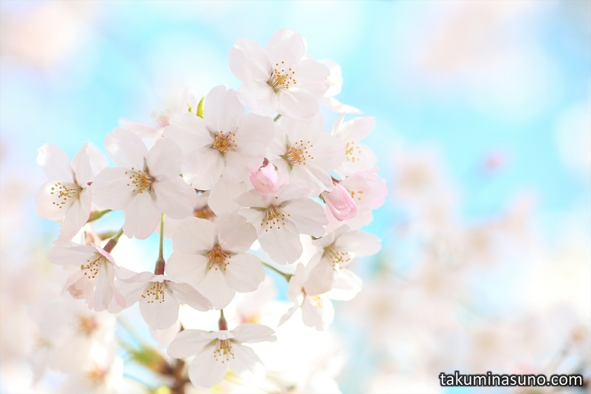 Fairytale-like Sakura Blossoms from Megro River
