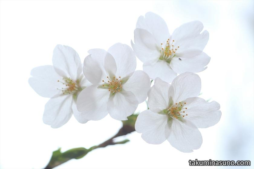 Four Sakura Blossoms at Todoroki Fudouson Temple