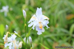Fringed Iris, An Interesting White Flower in April