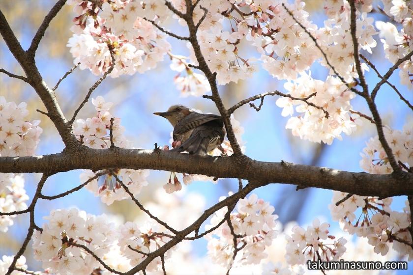 Japanese Bush Warbler at Kibougaokachu Park