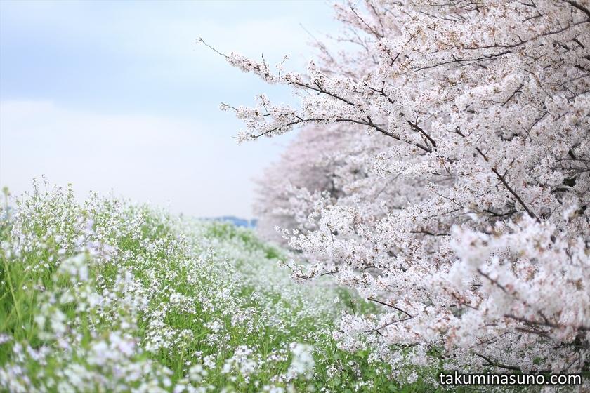Japanese Wild Radish and Sakura Blossomsa along Tama River