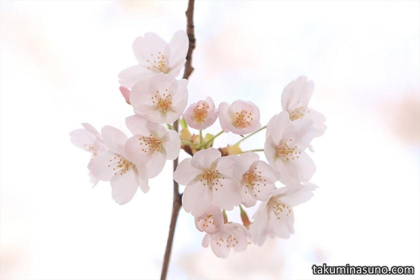 Lovely Pink Sakura Blossoms at Megro River