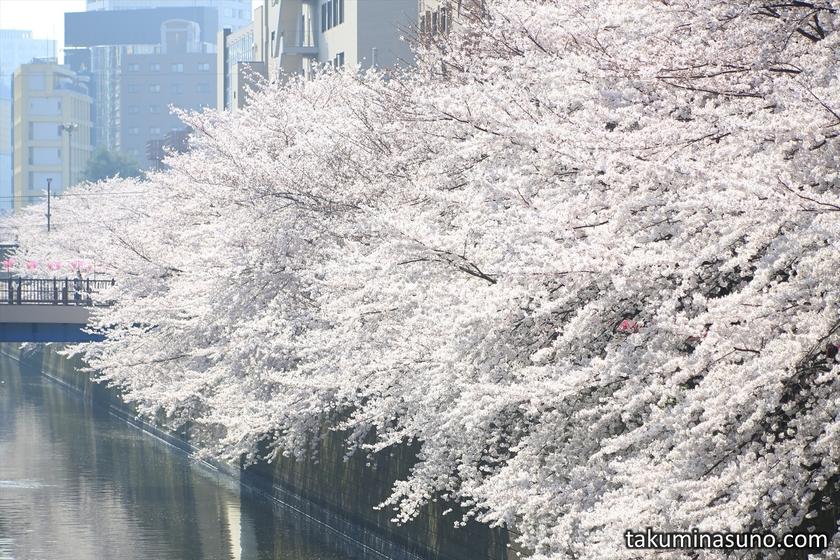 Mass of Sakura Blossoms at Megro River