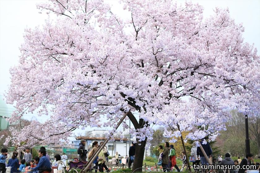 One Sakura Tree of Roka Koushun-en Park