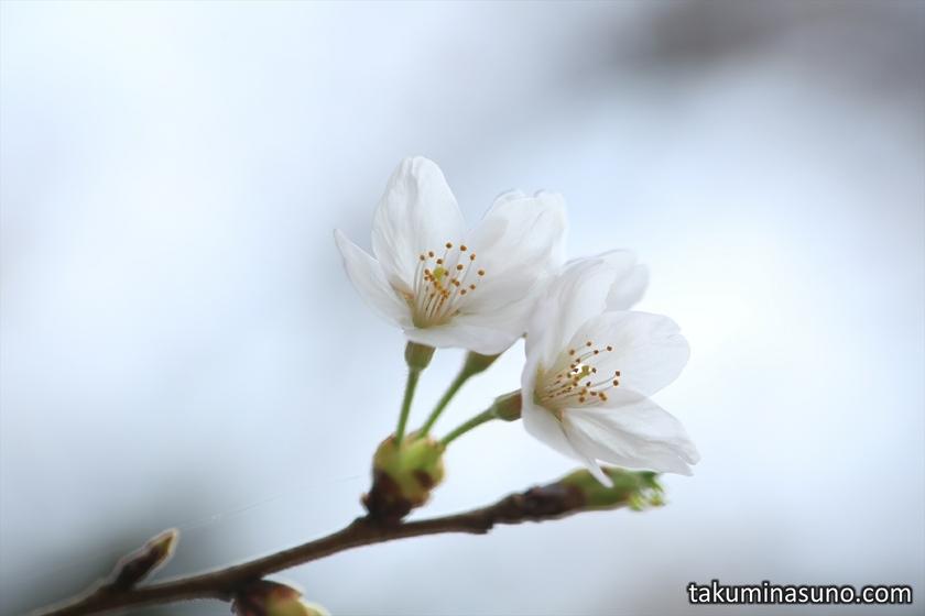 Pair of Sakura Blossoms at Todoroki Fudouson Temple