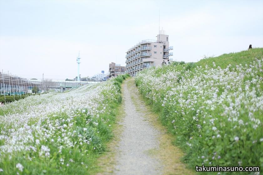Path of Japanese Wild Radish along Tama River
