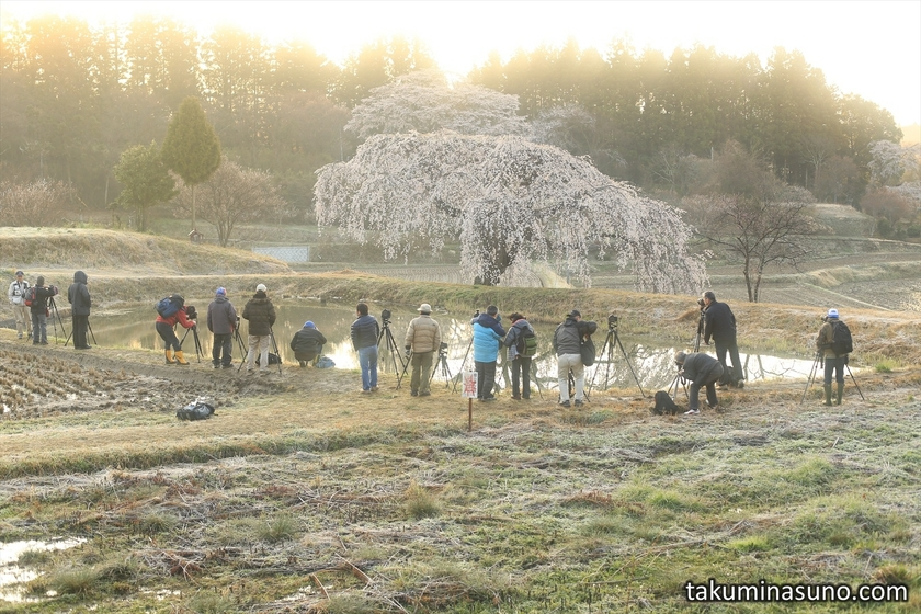 Photographers towards Weeping Sakura Tree of Hanazono at Tanagura Town