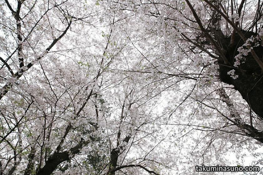 Roof of Sakura Blossoms at Shirahata Shrine of Tsurumi Town