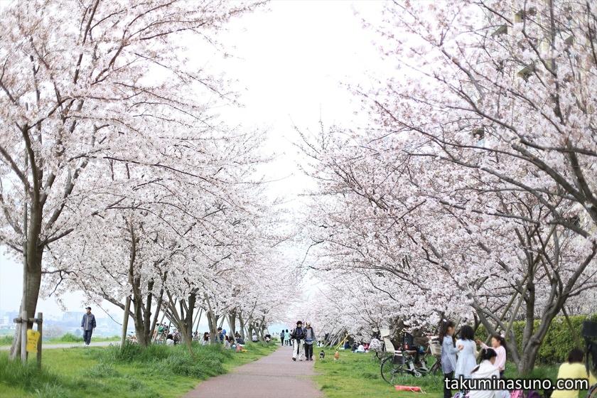 Row of Sakura along Tama River