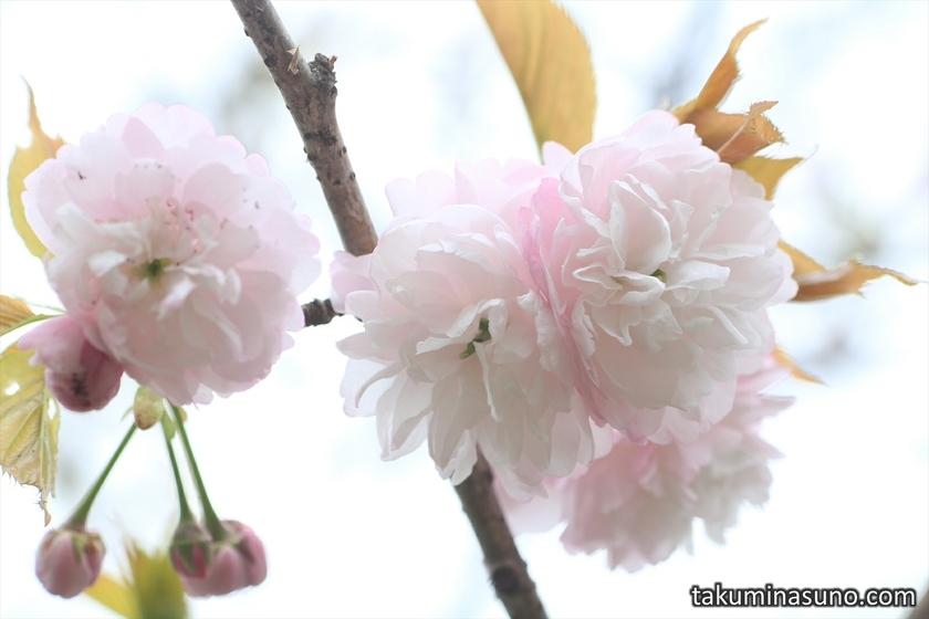 Sakura Benigasa at Mitsuike Park
