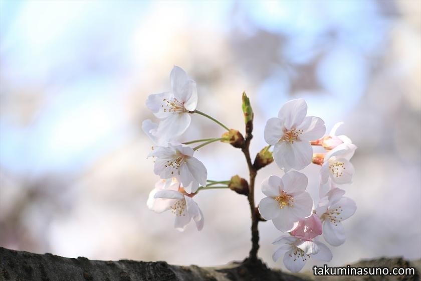 Sakura Blossoms Standing at Megro River