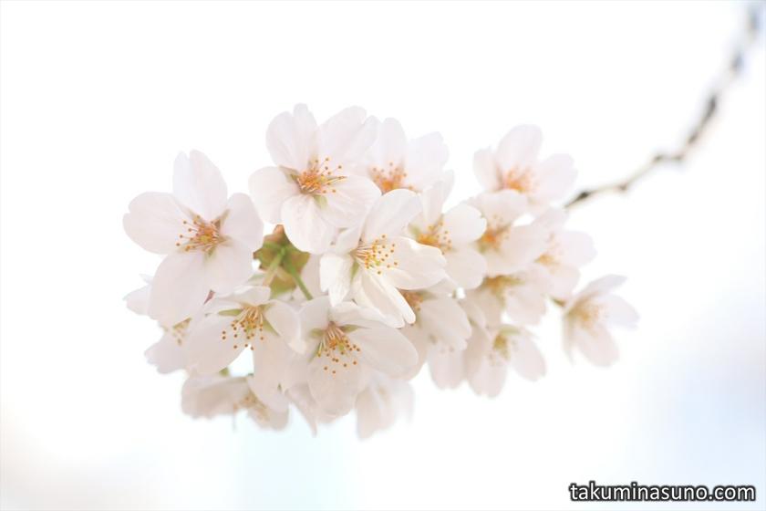 Sakura Blossoms and Warm Atmosphere at Megro River