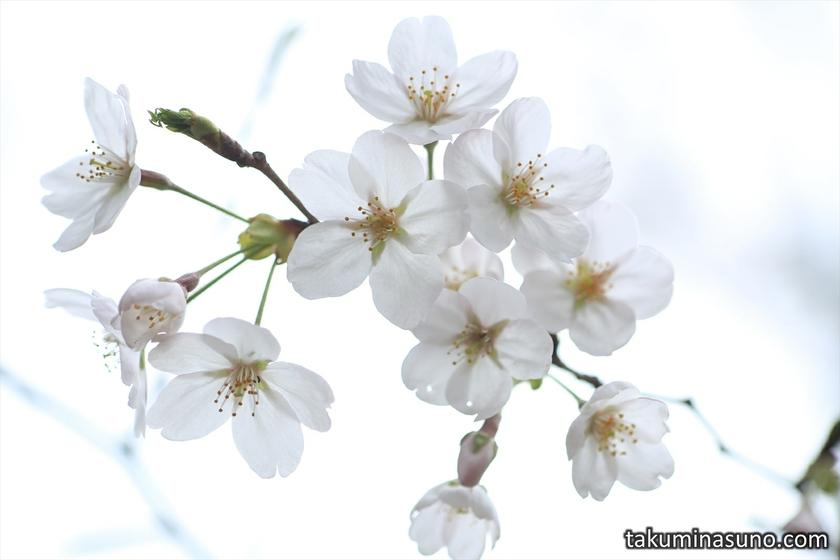 Sakura Blossoms at Todoroki Fudouson Temple